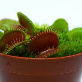 """Венерина мухоловка """"B52"""" (Dionaea muscipula """"B52"""")"""