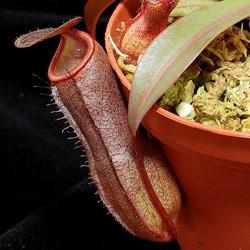 Непентес Rebecca soper (Nepenthes Rebeca soper)