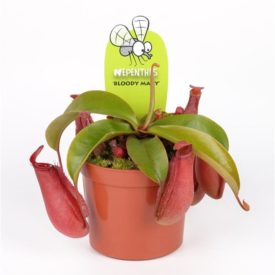 "Непентес Bloody Mary (Nepenthes ""Bloody Mary"")"