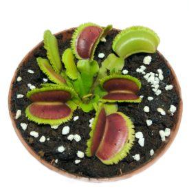 "Венерина мухоловка ""Dentate"" - (Dionaea Muscipula ""Dentate"") - M"