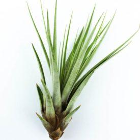Tillandsia Fasciculata (Tилландсия Фаскикулата)