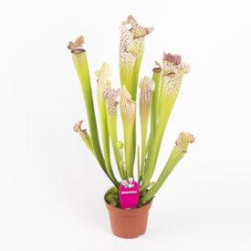 Сарацения Лейкофила (Sarracenia Leucophylla)